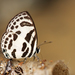Banded Blue Pierrot - Photo (c) Jiri Hodecek, some rights reserved (CC BY-NC)
