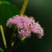Callicarpa formosana - Photo (c) 小溪, algunos derechos reservados (CC BY-NC)