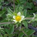 Sticky Cinquefoil - Photo no rights reserved