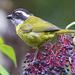 Chlorospingus pileatus - Photo (c) Dave Wendelken,  זכויות יוצרים חלקיות (CC BY-NC)
