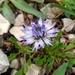 Globularia cordifolia - Photo (c) Wilhelm Richard BAIER,  זכויות יוצרים חלקיות (CC BY-NC)