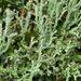 Cladonia furcata - Photo (c) wanderflechten, algunos derechos reservados (CC BY-NC-ND)