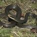 Coluber constrictor paludicola - Photo (c) Todd Pierson, algunos derechos reservados (CC BY-NC-SA)