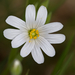 Rabelera holostea - Photo (c) Anne SORBES,  זכויות יוצרים חלקיות (CC BY-NC-SA), uploaded by Anne Sorbes