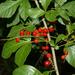 Allophylus - Photo (c) Graeme White, alguns direitos reservados (CC BY-NC)