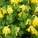 Yellow Corydalis - Photo (c) Alwyn Ladell, some rights reserved (CC BY-NC-ND)