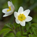 Wood Anemone - Photo (c) Anne SORBES, some rights reserved (CC BY-NC-SA), uploaded by Anne Sorbes