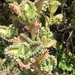 Mother of Thousands - Photo (c) jeilimarie, some rights reserved (CC BY-NC)