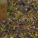 Aloina aloides - Photo (c) bryophyte_cnps, algunos derechos reservados (CC BY-NC)