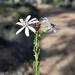Olearia paucidentata - Photo (c) Timothy Hammer, algunos derechos reservados (CC BY)