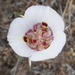Calochortus argillosus - Photo (c) passiflora4, algunos derechos reservados (CC BY-NC)