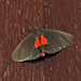 Joyful Virbia Moth - Photo (c) Aaron Carlson, some rights reserved (CC BY), uploaded by aarongunnar