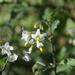 Solanum chenopodioides - Photo (c) Zachary Ngow, osa oikeuksista pidätetään (CC BY-NC)