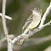 Least Flycatcher - Photo (c) Laura Gooch, some rights reserved (CC BY-NC-SA)