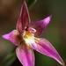Caladenia × spectabilis - Photo (c) Em Lamond, μερικά δικαιώματα διατηρούνται (CC BY-NC)