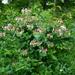 Lonicera caprifolium - Photo (c) ramazan_murtazaliev,  זכויות יוצרים חלקיות (CC BY-NC)