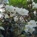 Rhododendron edgeworthii - Photo (c) Phuentsho, algunos derechos reservados (CC BY-NC)
