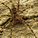 Dolomedes tenebrosus - Photo (c) Katja Schulz, alguns direitos reservados (CC BY)