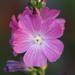 Sidalcea - Photo (c) Philip Bouchard, μερικά δικαιώματα διατηρούνται (CC BY-NC-ND)