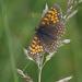 Melitaea diamina - Photo (c) Anne Sorbes,  זכויות יוצרים חלקיות (CC BY-NC-SA)