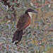 Coppery-tailed Coucal - Photo (c) Jerry Oldenettel, some rights reserved (CC BY-NC-SA)