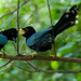 Yucatan Jay - Photo (c) Skott Яeader, some rights reserved (CC BY-NC-ND)
