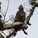 Águila Coronada - Photo (c) Dave Curtis, algunos derechos reservados (CC BY-NC-ND)
