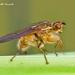 Scathophaga stercoraria - Photo (c) Marcello Consolo,  זכויות יוצרים חלקיות (CC BY-NC-SA)