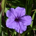 Mexican Ruellia - Photo (c) Te Chang, some rights reserved (CC BY-NC)
