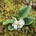 Epigaea repens - Photo (c) Michael Ellis, algunos derechos reservados (CC BY)