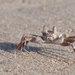 Ocypodoidea - Photo (c) cesare dolzani, algunos derechos reservados (CC BY-NC-SA)