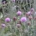 Cirsium arvense vestitum - Photo (c) svetlana-bogdanovich, algunos derechos reservados (CC BY-NC)