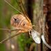 Gagrellula ferruginea - Photo (c) Ryosuke Kuwahara, algunos derechos reservados (CC BY-NC)