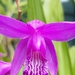 Bletilla striata - Photo (c) davide berton, algunos derechos reservados (CC BY-NC)