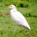 Cattle Egret - Photo (c) Bill Carrell, some rights reserved (CC BY-NC-ND)