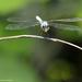 Chalcostephia flavifrons - Photo (c) Bart  Wursten, algunos derechos reservados (CC BY-NC-SA)