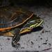 Deirochelys reticularia chrysea - Photo (c) Nicholas Sly,  זכויות יוצרים חלקיות (CC BY-NC)