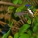 Colibrí Admirable - Photo (c) David Cook Wildlife Photography, algunos derechos reservados (CC BY-NC)