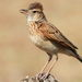 Rufous-naped Lark - Photo (c) Derek Keats, some rights reserved (CC BY)