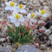 White Pygmy-Poppy - Photo (c) Stephanie Calloway, some rights reserved (CC BY-NC)