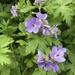 Geranium erianthum - Photo (c) margomb, algunos derechos reservados (CC BY-NC)