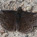 Sleepy Duskywing - Photo (c) cyric, some rights reserved (CC BY-NC-SA), uploaded by cyric