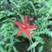 Silene virginica - Photo (c) abelkinser,  זכויות יוצרים חלקיות (CC BY-NC)