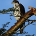 African Hawk-Eagle - Photo (c) Tim Collins, some rights reserved (CC BY-NC)