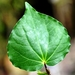 Kawakawa - Photo (c) Tony Foster, some rights reserved (CC BY-ND)