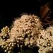 Viburnum triphyllum - Photo (c) Mateo Hernandez Schmidt, μερικά δικαιώματα διατηρούνται (CC BY-NC-SA)
