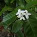 Alibertia edulis - Photo (c) Ricardo Brenes, some rights reserved (CC BY-NC)