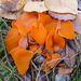Orange Peel Fungus - Photo (c) megatherium, some rights reserved (CC BY-NC-ND), uploaded by sea-kangaroo
