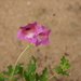 Dicerocaryum senecioides - Photo (c) Graeme White, alguns direitos reservados (CC BY-NC)