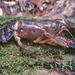Euastacus urospinosus - Photo (c) Elliot Bowerman, algunos derechos reservados (CC BY-NC)